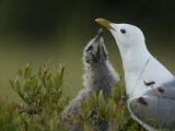 Mew Gull (Larus Canus) Adult with Chick, Alaska Interior Photographic Print by Michael S. Quinton