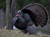 Male Wild Turkey, Meleagris Gallopavo, in Springtime Display Posture Photographic Print by John Cancalosi