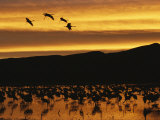 Sandhill Cranes, Grus Canadensis, in Water at Sunrise Photographic Print by Roy Toft