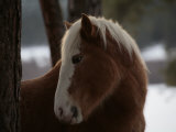 Wild Horse in the Snow Covered Ochoco National Forest Photographic Print by Melissa Farlow