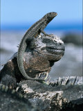 Young Marine Iguana Standing Atop an Adult Photographic Print by Mattias Klum