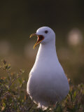 Mew Gull (Larus Canus) Adult , Alaska Interior Photographic Print by Michael S. Quinton