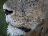 Close-up View of an African Lion's Nose and Whiskers Photographic Print by Roy Toft