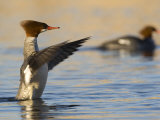 Female Common Merganser in Water with Wings Extended Photographic Print by Roy Toft