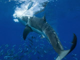 Great White Shark Grabs Bait in Clear Water Off Guadalupe Island Photographic Print by Mauricio Handler