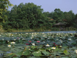 Water Lilies Float in a Lake at the Singapore Botanical Gardens Photographic Print by  xPacifica