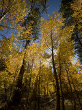 Aspen Trees Along the Shore of Lake Tahoe Photographic Print by Richard Nowitz