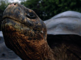 Close-up of an Endangered Giant Galapagos Tortoise Photographic Print by Mattias Klum