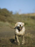 Labrador Retriever Running with Tennis Ball Photographic Print by Roy Toft