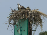 Osprey and Chick in Nest Atop a Boating Channel Marker Photographic Print by Paul Sutherland