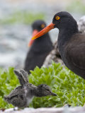 Adult Black Oystercatcher, Haematopus Bachmani, and Her Young Photographic Print by Roy Toft