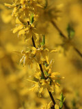 Close-up of a Forsythia Branch in Bloom Photographic Print by Joe Petersburger
