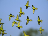 Flock of Airborne Peach-Fronted Parakeets Photographic Print by Joel Sartore