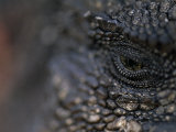 Close-up of the Eye of an Iguana Photographic Print by Mattias Klum
