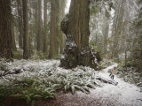 Rare Snow Dusts the Trail Through Del Norte Coast Redwoods Park Photographic Print by Michael Nichols