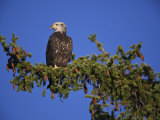 Young Bald Eagle in Grand Teton National Park, Wyoming Photographic Print by Drew Rush