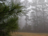 Dew-Covered Pine Branches on a Foggy Spring Morning in Georgia Photographic Print by Darlyne A. Murawski