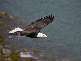 American Bald Eagle, Haliaeetus Leucocephalus, Soaring 写真プリント : ロイ・トフト