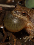 Male Spring Peeper, Pseudacris Crucifer, Calling to Attract a Female Photographic Print by John Cancalosi
