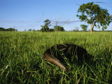 Giant Anteater Wends its Way Through Pantanal's Savannah Photographic Print by Joel Sartore