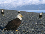 American Bald Eagles, Haliaeetus Leucocephalus, on Rocky Shore Photographic Print by Roy Toft