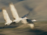 Three Sandhill Cranes, Grus Canadensis, in Flight, Showing Motion Photographic Print by Roy Toft