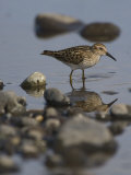 Least Sandpiper, Alaska Photographic Print by Michael S. Quinton