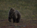 Grizzly Bear Photographic Print by Michael S. Quinton