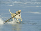 Labrador Retriever Running in Water with Stick in Mouth Photographic Print by Roy Toft