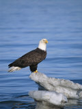 American Bald Eagle, Haliaeetus Leucocephalus, on Snowbank in Water Photographic Print by Roy Toft