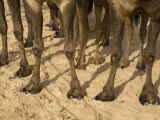 Camel's Feet Spread Apart to Keep Them from Sinking into the Sand Photographic Print by Randy Olson