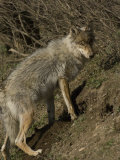 Gray Wolf Photographic Print by Michael S. Quinton