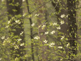 Flowers Bloom on the Pacific Dogwood Tree in Spring Photographic Print by Phil Schermeister