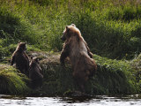Brown Bear with Cubs on Kuril Lake Photographic Print by Randy Olson
