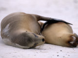 Endangered Galapagos Sea Lion and Pup Sleeping on a Beach Photographic Print by Mattias Klum
