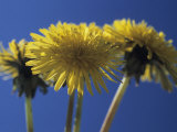 Dandelions are Backlit by the Sun Photographic Print by Heather Perry