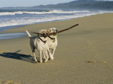 Two Labrador Retrievers on Beach with Stick Photographic Print by Roy Toft