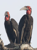 Southern Ground Hornbills, Bucorvus Cafer, Perched on a Tree Branch Photographic Print by Roy Toft
