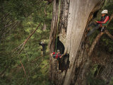 Scientists Measure a Fire Cave in a Redwood Damaged by Wildfire Photographic Print by Michael Nichols