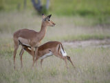 Impala, Aepyceros Melampus, Nursing Her Young Photographic Print by Roy Toft