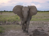 African Elephant Walking Towards the Camera Photographic Print by Roy Toft