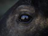 Captured Wild Horse Eyes His Surroundings after Capture Photographic Print by Melissa Farlow