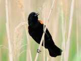 Male Red-Winged Blackbird Calling Photographic Print by Darlyne A. Murawski