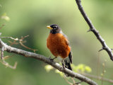 American Robin on a Tree Branch Photographic Print by Darlyne A. Murawski