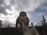 Northern Hawk Owl (Surnia Ulula) , Alaska Photographic Print by Michael S. Quinton