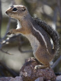 Harris' Antelope Squirrel, Ammospermophilus Harrisii Photographic Print by Roy Toft