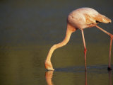 Greater Flamingo, Phoenicopterus Ruber, Feeding in Shallow Water Photographic Print by Mattias Klum