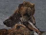 Brown Bear Catches a Salmon Fish in Kuril Lake Impressão fotográfica por Randy Olson