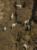 Dall Sheep Photographic Print by Michael S. Quinton