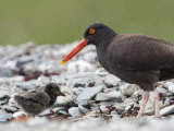 Adult Black Oystercatcher, Haematopus Bachmani, and Her Young Photographie par Roy Toft